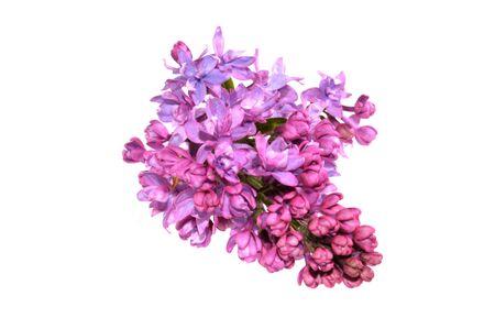 Photo pour lilac isolated on white background - image libre de droit