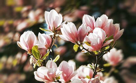 Photo pour Magnolia tree blossom in springtime - image libre de droit
