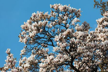 Photo pour Natural background concept. Magnolia tree blossom. Blossom magnolia branch against nature background. Magnolia flowers in spring time - image libre de droit