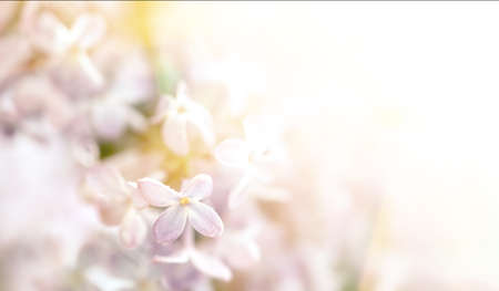 Photo pour Close-up image of lilac flowers in sun light. Blurred image with soft focus. Natural background and texture. - image libre de droit