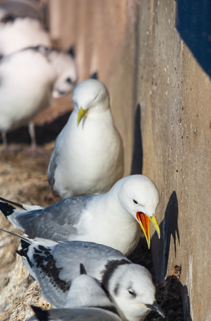 Photo pour Seagulls and their chicks nested on a building edge in Newcastle, UK - image libre de droit
