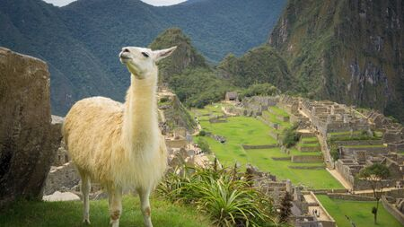 Llama in the city of Machu Picchu