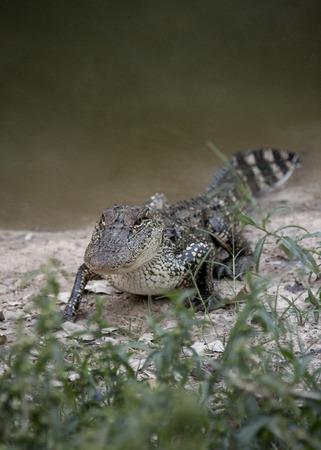 A Young Alligator Next to the Water