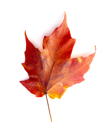 Foto per A Read Single Colored Fall Leaf on a White Background - Immagine Royalty Free