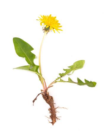 Foto für Dandelion Plant isolated on a White Background - Lizenzfreies Bild