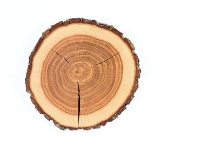 crossection of an oak tree trunk