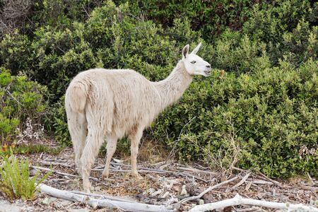 White single adult llama grazing closeup on Corsica island, France.