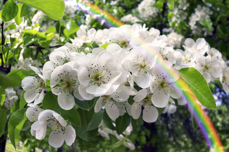 Flowering shrub decorative Pear tree with petals and a delicate aroma - a symbol of a new crop of spring victory vitality of nature clean environment of the Earth the farmer joy