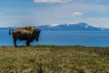 American Bison at Yellowstone Lake in the Yellowstone National Park, Wyoming