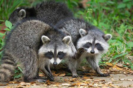 Foto de A pair of wild raccoons - Imagen libre de derechos
