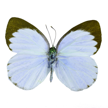 Blue butterfly, Delias butterfly (Delias belisama) in fancy color profile, isolated on white background