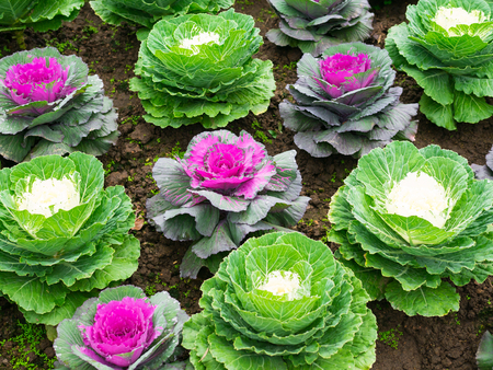Close up of  decorative cabbage, ornamental cabbage plants.
