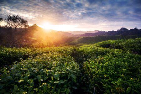 Photo pour Amazing landscape view of tea plantation in sunset/sunrise time. Nature background with morning light - image libre de droit