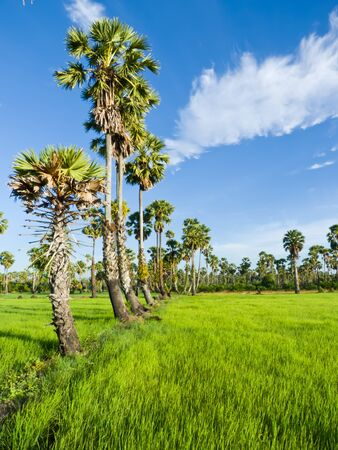 Photo pour Sugar palm trees in the field ,thailand surrounded by lush green plants  - image libre de droit