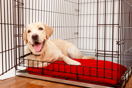 Photo for Dog in cage. Isolated background. Happy labrador lies in an iron box - Royalty Free Image