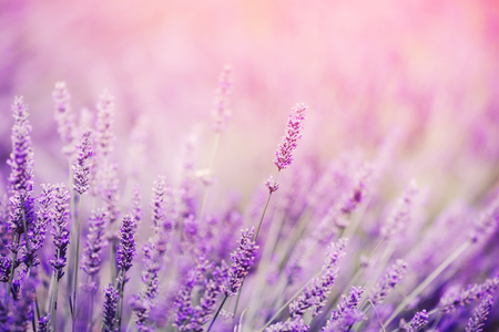 Foto de Closeup of lavender, purple tone sunlight. Fabulous magical artistic image of dream, copy space. - Imagen libre de derechos