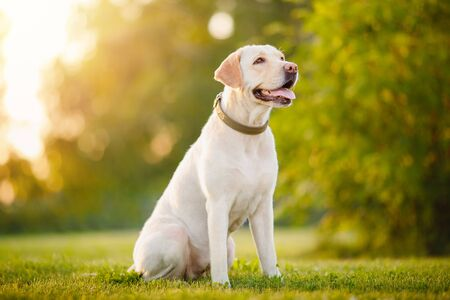 Foto de Active, smile and happy purebred labrador retriever dog outdoors in grass park on sunny summer day - Imagen libre de derechos