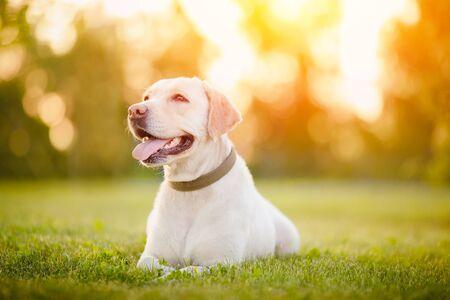 Photo pour Happy smiling labrador dog outdoors sunset day. - image libre de droit