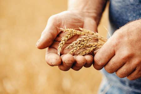 Foto für Close-up macro golden barley ears in hands of farmer in field - Lizenzfreies Bild