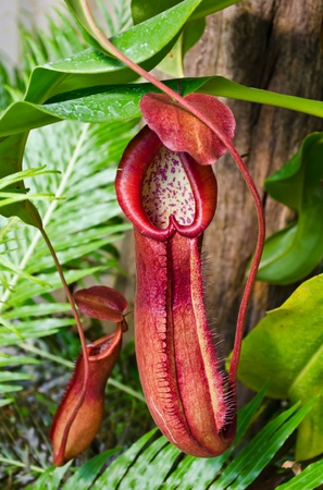 Pitcher plant growing in tropical forest