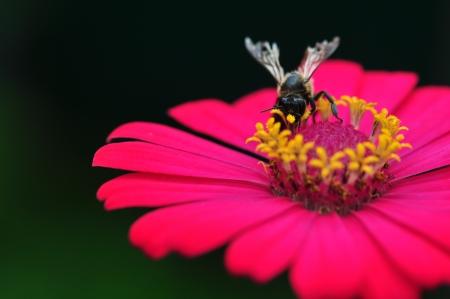 Photo pour Bumble Bee Gathering Polen From Zinnia Elegans Flower - image libre de droit