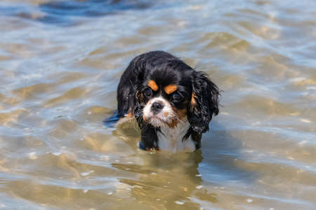 Photo pour A dog cavalier king charles, a cute puppy bathing in the seaweeds - image libre de droit