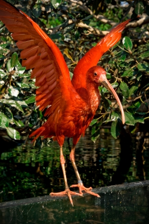 Scarlet ibis with open wings on magnolia leaves background at Oceanografic, Valencia