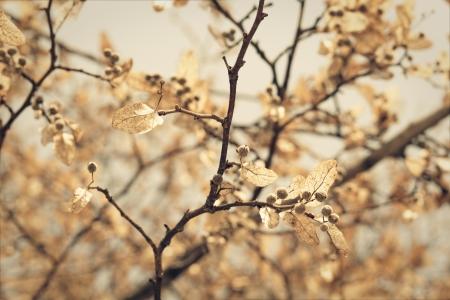 linden blossom, closeup shot