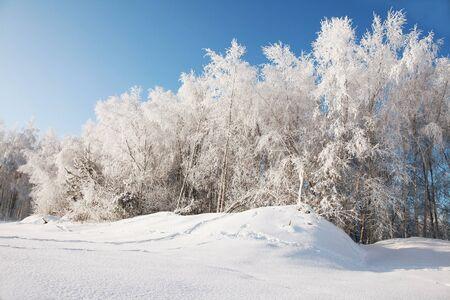 Photo pour birch grove under snow on sunny day - image libre de droit