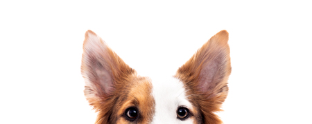 Photo pour Panorama, dog is hiding, isolated in front of white, eyes and ears - image libre de droit