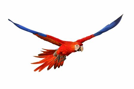 Photo pour Macaw parrot flying  isolated on white - image libre de droit