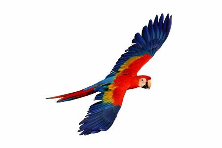 Photo for Macaw parrot flying  isolated on white - Royalty Free Image