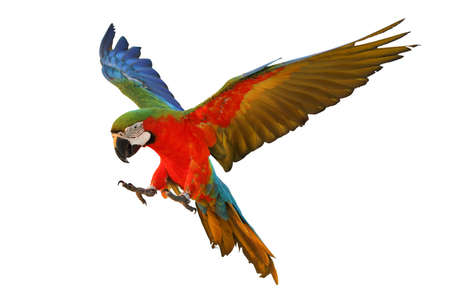 Photo pour Colorful flying macaw parrot isolated on white - image libre de droit