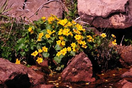 Wildflower Marsh Marigold on Creek in Wisconsin