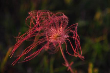 Wildflower - Prairie Smoke Single Flower Close-up - Geum Triflorum - in Wisconsin