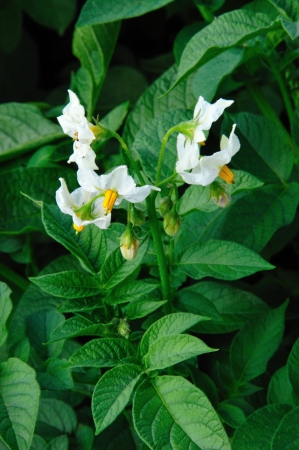 Potato Plant Blossoms in Wisconsin - Solanum Tuberosum