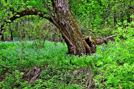 Virginia Bluebells on the riverbank of Kickapoo River, Wisconsin