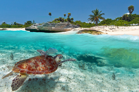 Photo for Caribbean Sea scenery with green turtle in Mexico - Royalty Free Image