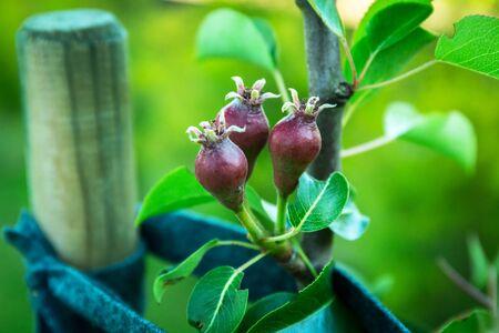 Foto für Small pears on the tree in the garden - Lizenzfreies Bild