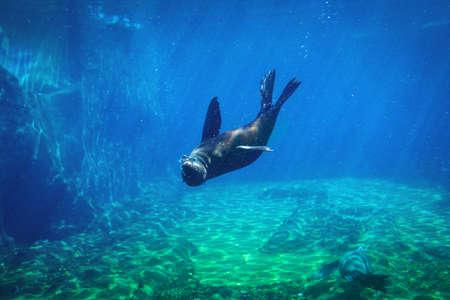 Photo pour Seal swimming underwater in a natural aquarium - image libre de droit