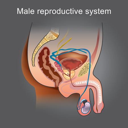 Illustration pour The male Reproductive system consists of a number of sex organs that play a role in the process of human reproduction. Info graphic vector. - image libre de droit