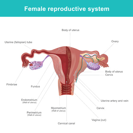 Ilustración de The female reproductive system (or female genital system) Vector illustration. - Imagen libre de derechos