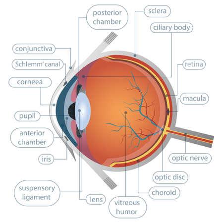 Illustration pour Human eye anatomy vector design illustration isolated on white background - image libre de droit