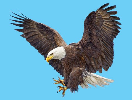 Bald eagle landing swoop  and paint on blue sky background illustration.