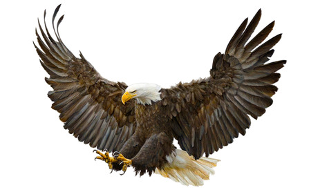 Bald eagle swoop landing on white background illustration.