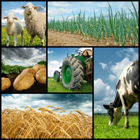 Agriculture collage. Cow, sheeps, wheat, onion, potato, tractor