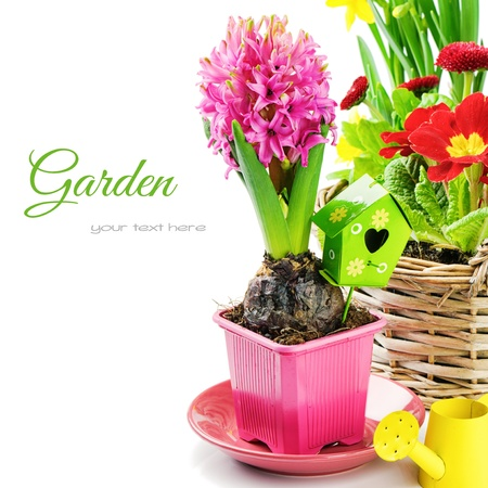Photo for Pink hyacinth flower with bulb isolated over white - Royalty Free Image