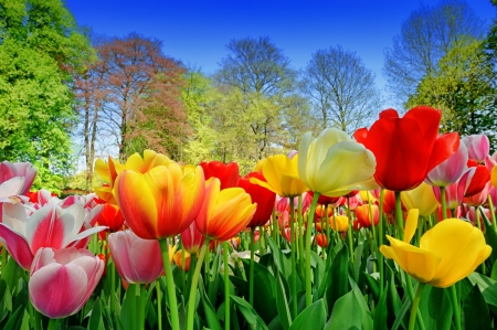 Fresh multicolored tulips in a spring park