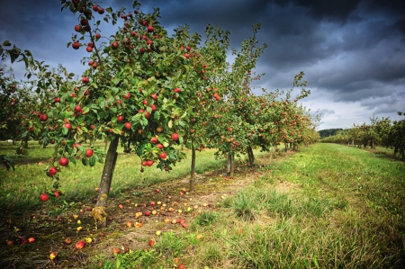 Apple orchard at cloudy autumn day