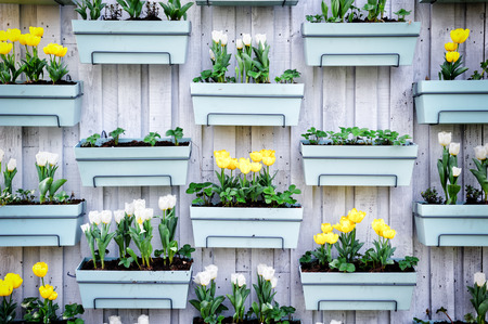 Wooden wall with spring tulips in flower pots